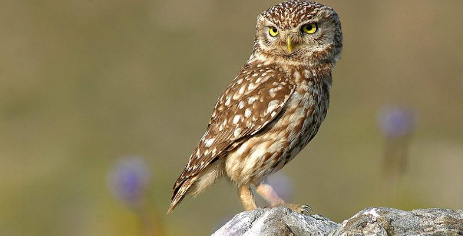 We invite you to assist the release of a Little-owl - Sports Pavilion